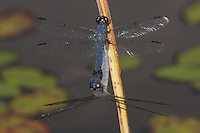 Slaty Skimmer (Libellula incesta) Dragonfly - Mating Pair, Promised Land State Park, Greentown, Pike County, Pennsylvania