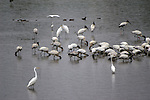 Great egrets sits out bad weather with a flock of woodstorks.