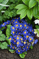 Primula elatior Piano Blue with hellebores in spring bloom, biennial blue flowers with yellow center, compact plants, primroses