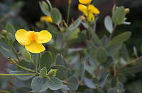 "The yellow flower and gray-grene foliage of an island bush poppy, Dendromecon harfordii, seen during the 2018 ""California in my garden"" plant tour of the Orange County Chapter of the California Native Plant Society."