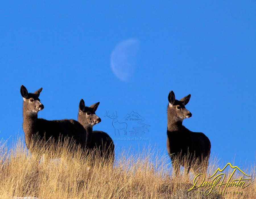 Three doe mule deer, moon, Absaroka Mountains, Cody, Wyoming