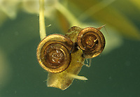 Little Whirlpool Ramshorn Snail - Anisus vorticulus