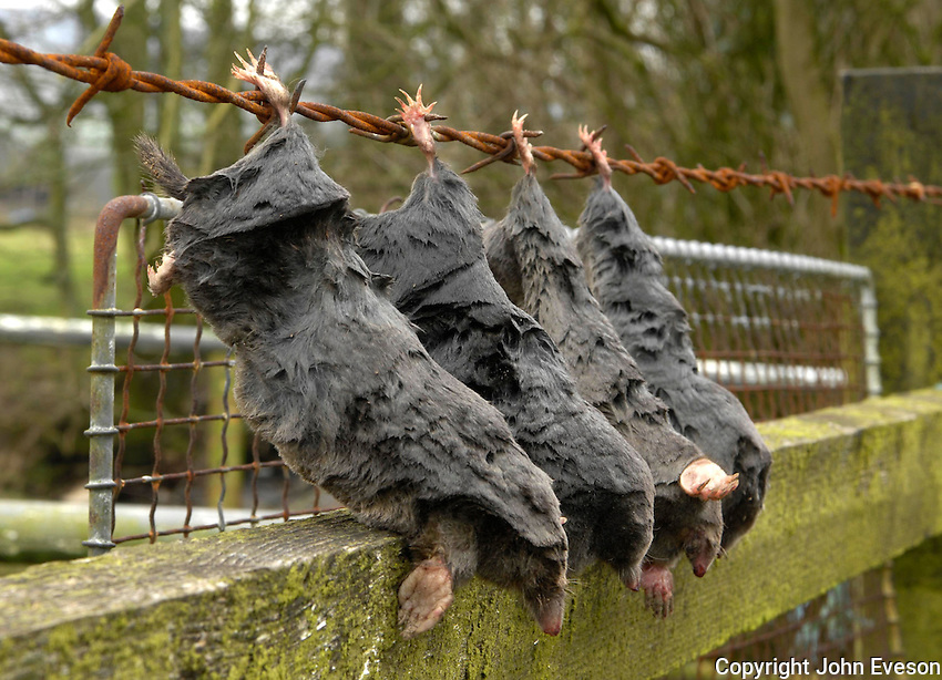 Moles hooked on barbed wire to demonstrate that the farmer is looking after his land.
