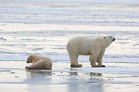 01874-13707 Polar Bears (Ursus maritimus) female with 1 cub. Churchill Wildlife Management Area, Churchill, MB Canada