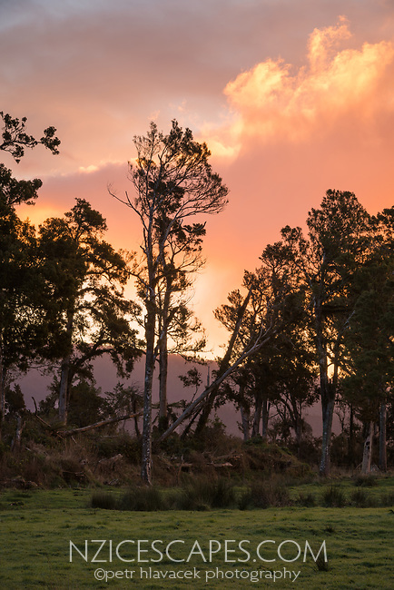 Totara tree at sunset, West Coast, New Zealand, NZ