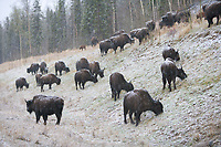 Bison graze along the roadside of the Alaska Highway in British Columbia, Canada.