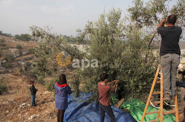 Palestinian of al-Sweity family's harvest olive trees next to where Israel built their controversial separation barrier in the village of Deir Samet near Hebron in the occupied West Bank on October 11, 2014. The Sweity family is only able to harvest from part of their olive grove as access to the rest is cut by the concrete barrier that divides his family's land. Israel says the projected 723 kilometres (454 miles) of steel and concrete walls, fences and barbed wire is needed for security, while Palestinians view it as a land grab that undermines their promised state. Photo by Mamoun Wazwaz