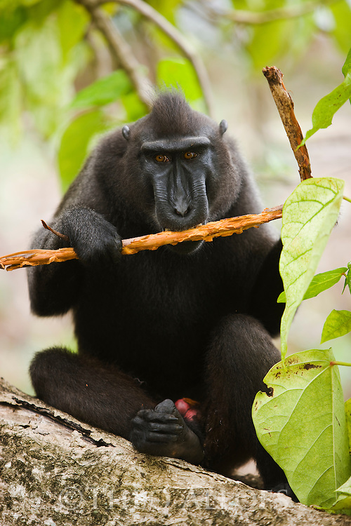 Male crested black macaque eating bark of branch, (Macaca nigra), Indonesia, Sulawesi; Endangered species, threatened through loss of habitat and bush meat trade, species only occurs on Sulawesi.