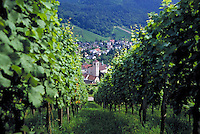 The vineyards in Baden Baden, Germany. agriculture, landscape, rural village visible through the rows of foliage. Baden Baden, Germany.