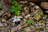 489250006 a captive gaboon viper bitis gabonica sits coiled in leaf litter species is a ground dwelling deadly viper it is the heaviest and has the longest fangs of any viperid and is native to western sub-saharan africa