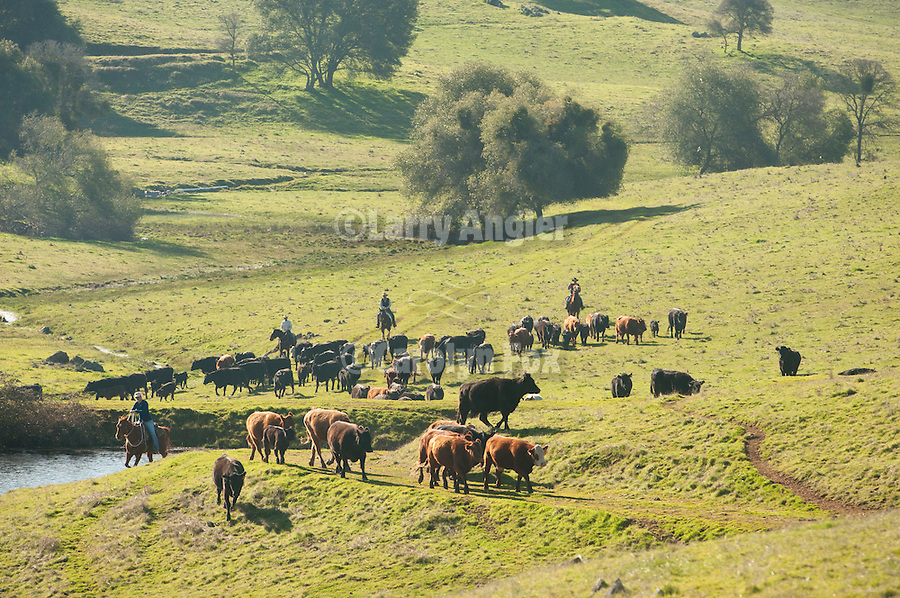 Cattle gather for branding in the SIerra Nevada Foothills, Amador County, Calif.
