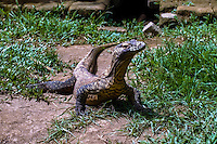 The Komodo dragon, Varanus komodoensis,is a large species of lizard found in the Indonesian islands of Komodo. Here a young lizard in Bali reptile park.
