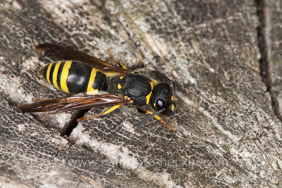 Lehmwespe, Lehm-Wespe, Ancistrocerus spec., Solitäre Faltenwespe, Eumenidae, potter wasp