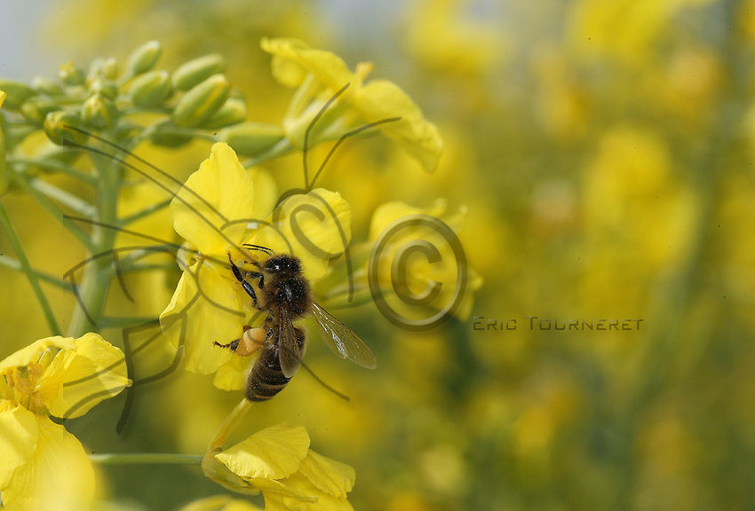 A forager at work on a canola flower.