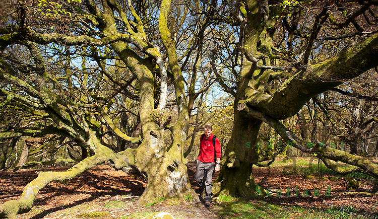Old coppiced beech trees in Castramont Wood part of the Fleet Valley National Scenic Area. Spring walker walking between two beech trees. Scotland, UK