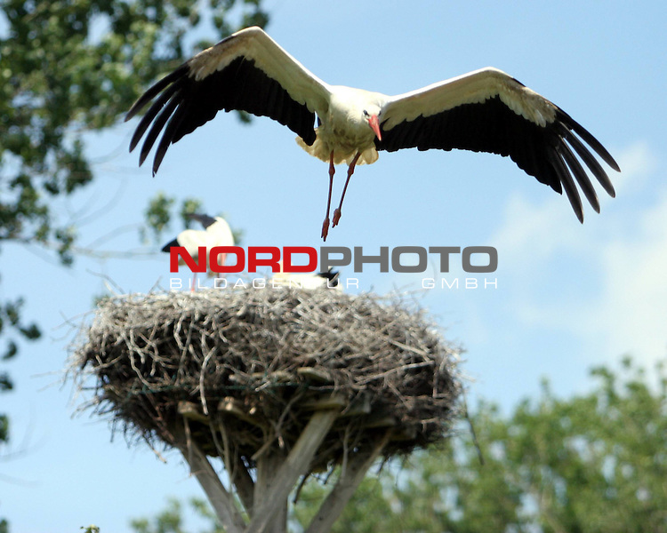 Stoerche am Duemmer See, Niedersachsen <br /> <br /> Huede, Duemmer See. Im Hueder Ochsenmoor brueten Stoerche. Waehrend 4 Jungstoerche im Nest auf Nahrung warten. Bewacht die Mutter (im Nest links) die Brutstaette, waehrend der Vater Nahrung f&uuml;r den Nachwuchs wie Froesche und Maeuse heranfliegt. <br /> <br /> Foto: &copy; nph (nordphoto)<br /> <br /> *** Local Caption ***