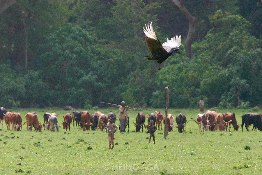 LAKE LANGANO, RIFT VALLEY, SHEWA/ETHIOPIA..Cow herds, Abessinian Hornbills near Bishangari Lodge..(Photo by Heimo Aga)