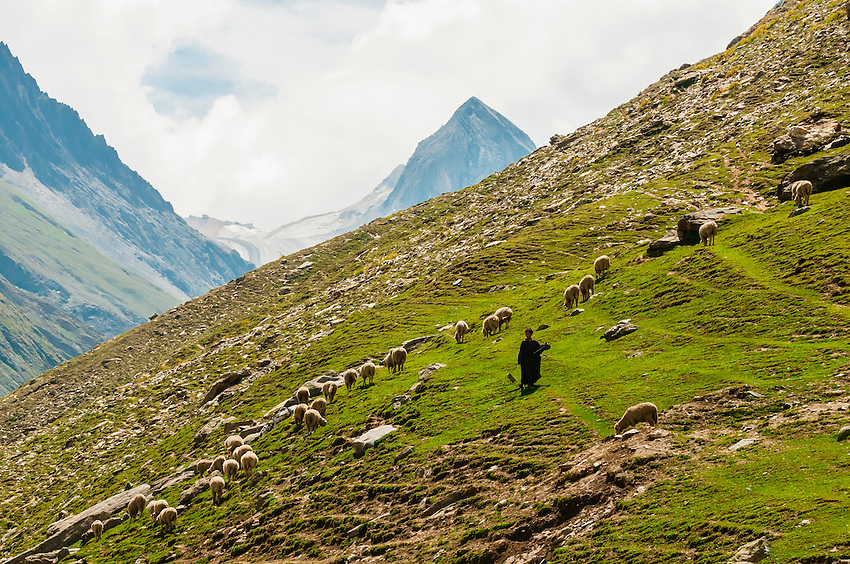 Man herding sheep on a mountainside in Gumr, Ladakh, Jammu and Kashmir State, India.