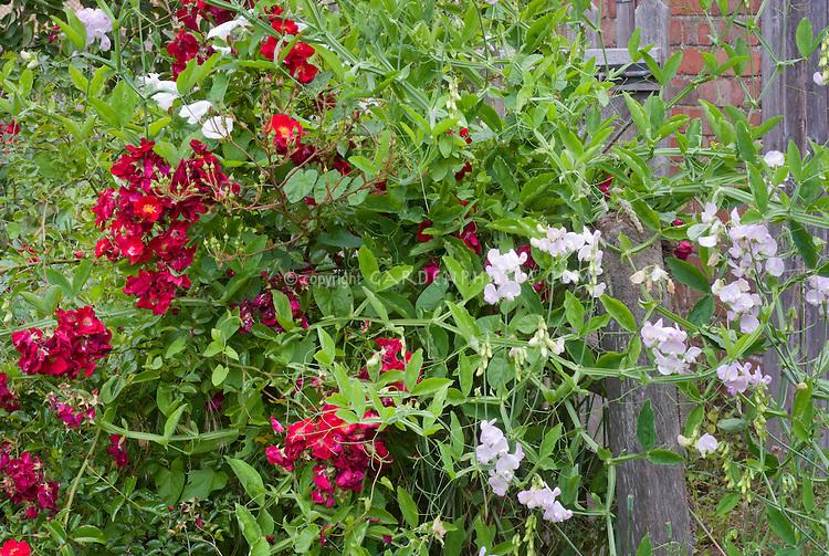 Fragrance Garden: Rosa Suffolk ('Kormixal'), Lathyrus latifolius 'Blushing Bride' roses and sweetpeas climbing vines