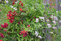 Fragrance Garden: Rosa Suffolk ('Kormixal'), Lathyrus latifolius 'Blushing Bride' roses and sweetpeas climbing vines