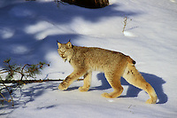 Canadian Lynx .walking on snow in forest.  Northern Rockies, winter.  Large feet act like snowshoes and help this predator walk on top of the snow.  (Lynx canadensis)