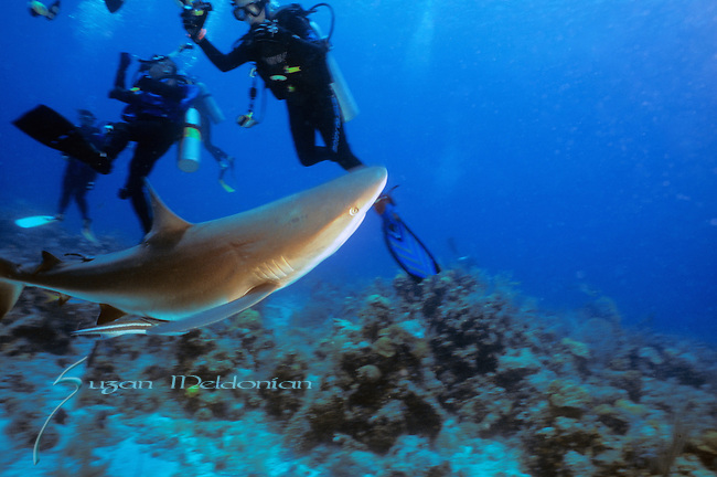 Shark under divers, young boy with shark, confusion when shark swims through divers, Underwater Marine life Behavior, Bahamas, Caribbean Sea.