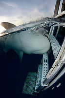 A tiger shark, Galeocerdo cuvier, mouths the swim step of the dive boat at Fish Tales near Tiger Beach, Grand Bahama Bank, Caribbean Sea, Atlantic Ocean