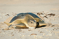 Australian flatback sea turtle, Natator depressus, endemic to Australia and southern New Guinea, female returning to sea in late afternoon after nesting, Australia; note sand piled in hollow of shell created by upturned lip of carapace unique to flatback turtles