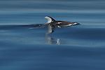 Pacific white-sided dolphin (Lagenorhynchus obliquidens) British Columbia, Canada