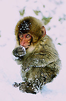 Baby Japanese macaque, a.k.a. Snow Monkey, at Jigokudani (Hell Valley) in Nagano Prefecture, Japan, 18 Jan 2011.  Japanese snow monkeys live in extreme conditions where winter temperatures can drop to -20 c.  The monkeys of Jigokudani are unique in taking hot baths in the volcanic water of the area to keep warm...Photo by Richard Jones/ Sinopix