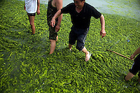 Workers and volunteers try to clear algae from the Number 6 Bathing Beach on Qingdao Bay in Qingdao, Shandong, China...Qingdao is the host of the sailing events for the 2008 Summer Olympics. Algae blooms like this have become common in inland lakes in China, often caused by high pollution in bodies of water.  The city is asking for help and forcing residents to take part in the cleanup effort before the Olympic events..
