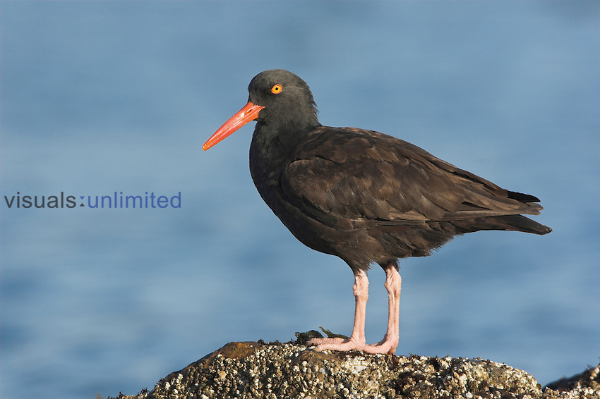 Black Oystercatcher (Haematopus bachmani) perched on a rock in Victoria, British Columbia, Canada.