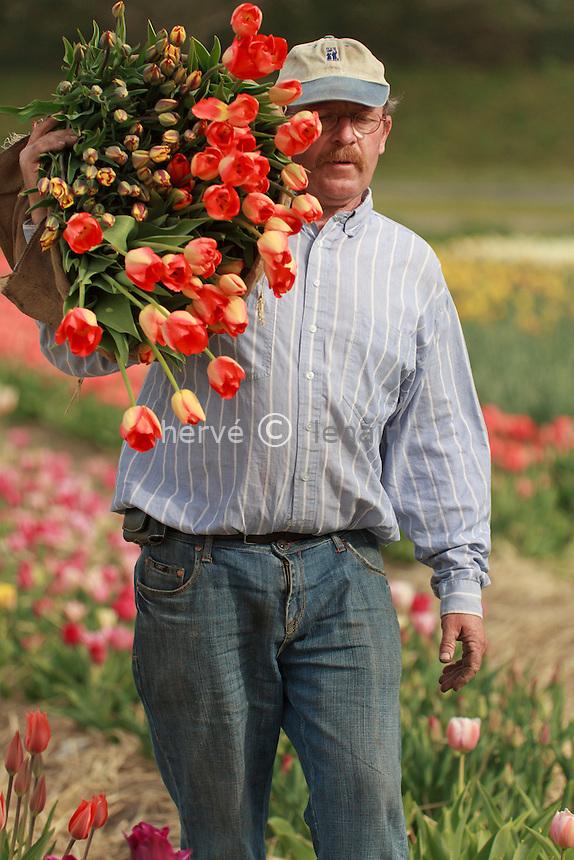 """Hollande, région des champs de fleurs, Lisse, Hans Beelen, producteur, récolte ses tulipes pour la vente directe aux particuliers (model release OK) // Holland, """"Dune and Bulb Region"""" in April, Lisse,  Hans Beelen, producer, harvest of tulips for direct sales to individuals (model release OK)."""