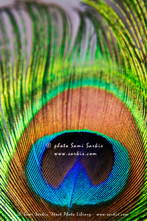 Vibrant colours of a peacock feather.