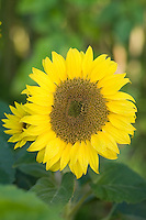 Helianthus annuus (Sunflowers)