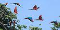 Red-and-Green Macaws (Ara chloropterus) gathering near a clay lick. Heath River, Tambopata / Bahuaja-Sonene Reserves, Amazonia, Peru / Bolivia border.