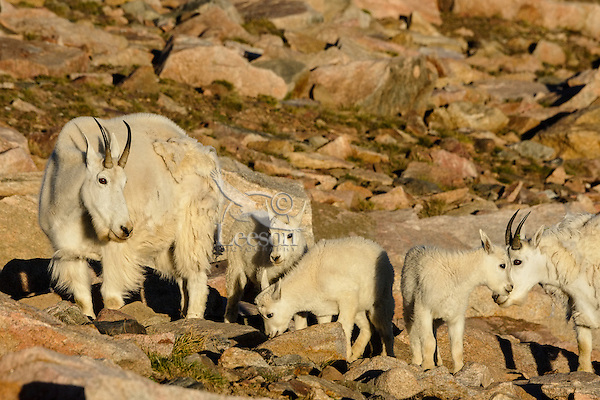 """Mountain Goat (Oreamnos americanus) nannies and kids crossing scree slope in the Beartooth Mountains near the Wyoming/Montana border.  The nannies are shedding their heavy winter coat of fur to a new """"summer weight"""" fur coat which will grow long again for the next winter.  Twins or triplets are fairly uncommon among mt. goats and one of these kids probably belongs to another nanny that is outside this photo.  Kids of this age--two months or so--often play/explore together while their mothers feed."""