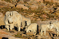 "Mountain Goat (Oreamnos americanus) nannies and kids crossing scree slope in the Beartooth Mountains near the Wyoming/Montana border.  The nannies are shedding their heavy winter coat of fur to a new ""summer weight"" fur coat which will grow long again for the next winter.  Twins or triplets are fairly uncommon among mt. goats and one of these kids probably belongs to another nanny that is outside this photo.  Kids of this age--two months or so--often play/explore together while their mothers feed."