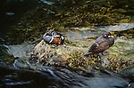 Harlequin ducks, Alaska