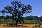 Oak tree at Karmere Vineyard & Winery, near Plymouth, Shenandoah Valley, Amador County, California