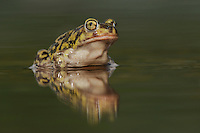 Couch's Spadefoot (Scaphiopus couchii), adult in water, Laredo, Webb County, South Texas, USA
