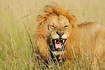 Africa  Kenya Masai Mara Angry lion