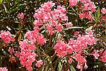 Israel, Jerusalem. Flowers of Oleander in Ratisbonne Monastery