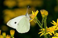 Großer Kohlweißling, Pieris brassicae, Blütenbesuch auf Jakobs-Greiskraut, Nektarsuche, saugt Nektar mit langem Saugrüssel, Grosser Kohlweissling, large white, Cabbage Butterfly, Cabbage White, Large Cabbage White, White cabbage butterfly