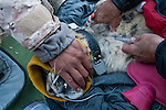 Snow Leopard (Panthera uncia) veterinarian, Ric Berlinski, and ranger, Urmat Solokov, drawing blood during collaring of male snow leopard, Sarychat-Ertash Strict Nature Reserve, Tien Shan Mountains, eastern Kyrgyzstan