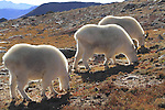 Three Mountain Goats (Oreamnos americanus) on the alpine slopes of Mount Evans (14250 feet), Rocky Mountains, west of Denver, Colorado, USA Guided photo tours. .  John leads private, wildlife photo tours throughout Colorado. Year-round.