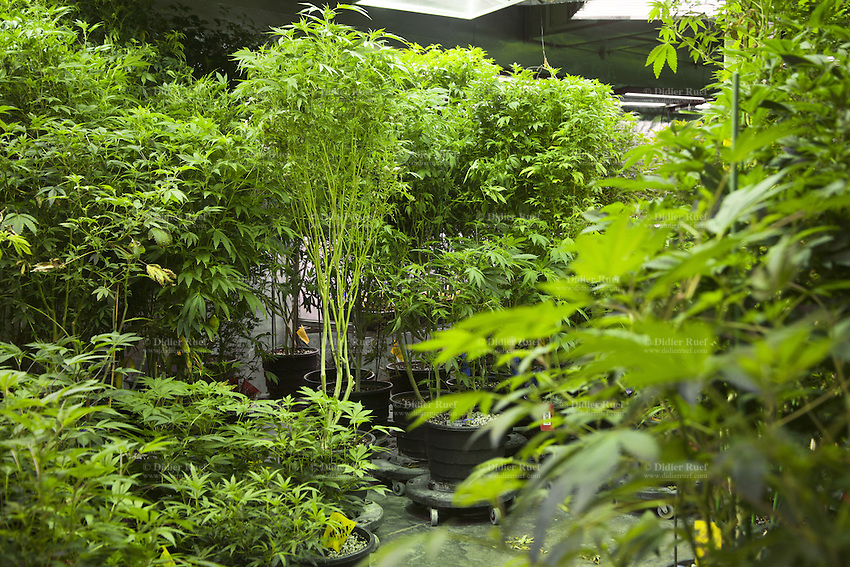USA. Colorado state. Denver. One of the marijuana grow rooms at Medicine Man. The 45 meter long room is called The Green Mile which holds row and row of plants in a vegetative state. Medicine Man began nearly six years ago as a small medical marijuana operation and has since grown to be the largest single marijuana dispensary, both recreational and medical, in the state of Colorado and has aspirations of becoming a national brand if pot legalization continues its march. Cannabis, commonly known as marijuana, is a preparation of the Cannabis plant intended for use as a psychoactive drug and as medicine. Pharmacologically, the principal psychoactive constituent of cannabis is tetrahydrocannabinol (THC); it is one of 483 known compounds in the plant, including at least 84 other cannabinoids, such as cannabidiol (CBD), cannabinol (CBN), tetrahydrocannabivarin (THCV), and cannabigerol (CBG). 19.12.2014 © 2014 Didier Ruef