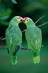 Red-lored Amazons, Honduras / (Amazona autumnalis autumnalis)