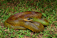 Speckled Racer (Drymobius margaritiferus)