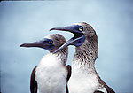 blue-footed boobies vocalize
